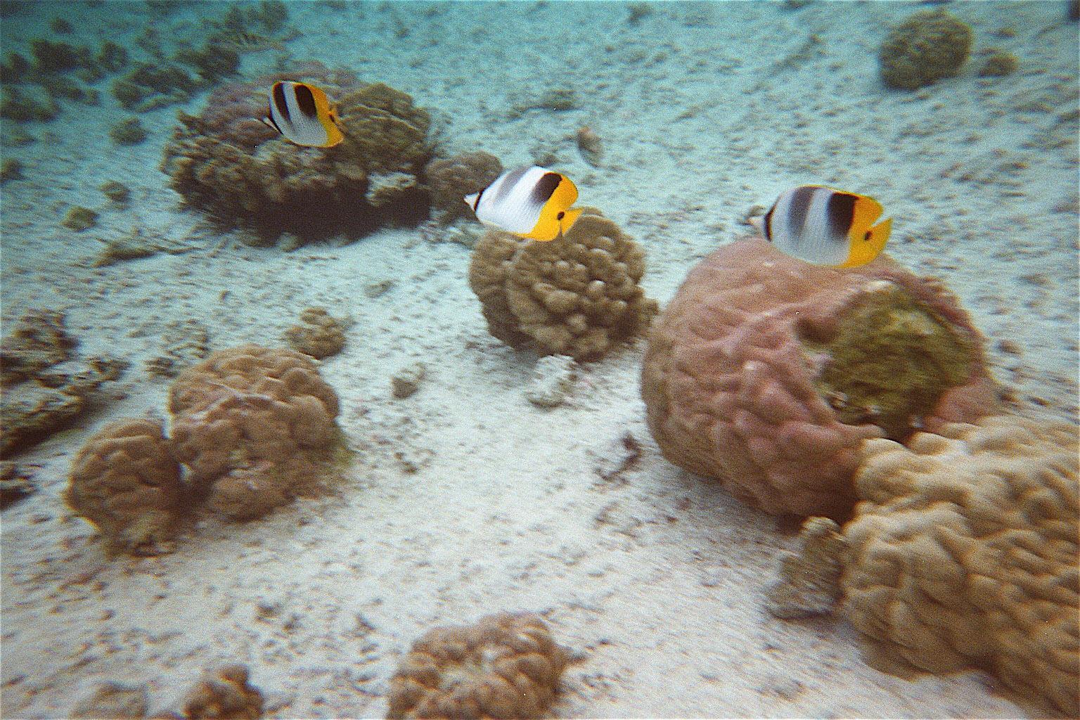 Tahaa ile vanille, ile des perles, jardin de corail